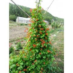 Mongeta de jardí vermella - coccineus
