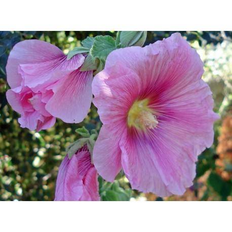 Malva reial rosa