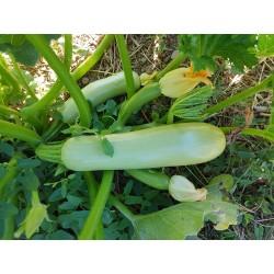 Carbassó blanc o carbassa gorrinenca