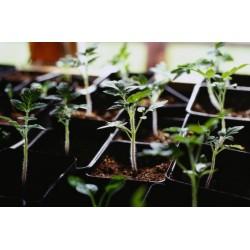 Planter de varietat local de tomàquet ple de la creu